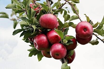 Äpfel am Baum Bildquelle: Pixabay